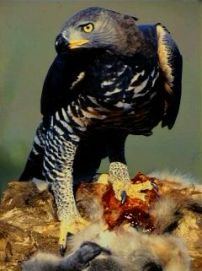 crowned_eagle